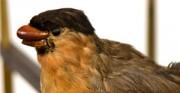 Złocona klatka z zegarem, wypchany ptak - [od lewej: stan przed konserwacją i po konserwacji i restauracji]